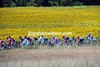 The peloton finds its first sunflowers of this Tour...