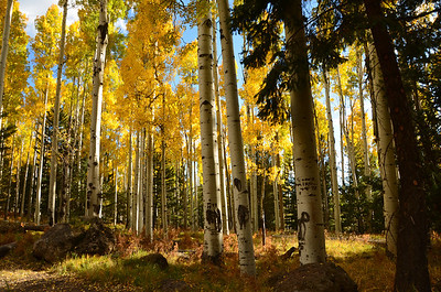 2012 Aspens in Flagstaff