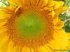 Sunflower (G12)