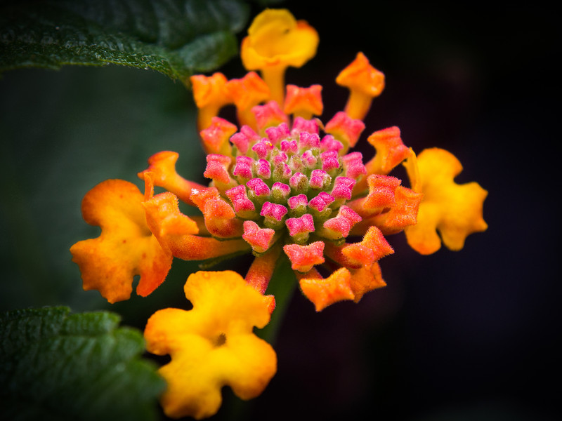 Lantana flower found along the Coal Harbour seawall.