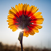 Indian Blanket flower (Gaillardia Pulchella) at Garry Point Park.