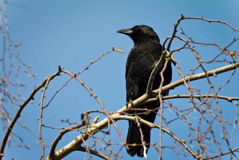 Crow.