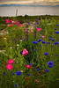 A splash of colour in Garry Point Park. Poppies and other flowers.