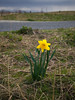 Early spring brings a lone Daffodil to Garry Point Park.