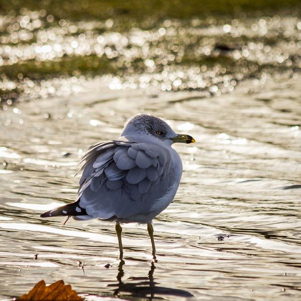 Ring-billed gull in Garry Point Park.