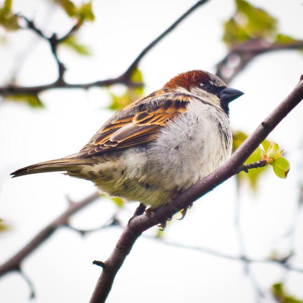 House sparrow at Garry Point Park.