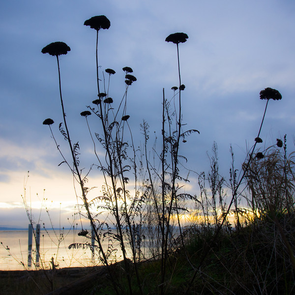 Silhouette of wildflowers in Garry Point Park.