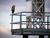 Heron perched on the light beacon at Garry Point Park.