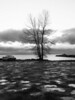 Silhouette of the lone tree and puddles at the gravel parking lot at Garry Point Park.