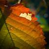 Autumn colours spreading through a leaf.