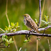 Savannah Sparrow at Garry Point Park.
