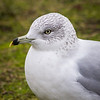 Ring-billed gull in Garry Point Park.
