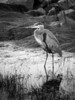 A Great Blue Heron searches for dinner at Garry Point Park.