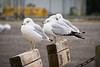 Ring-billed gulls on a park bench at Garry Point Park.