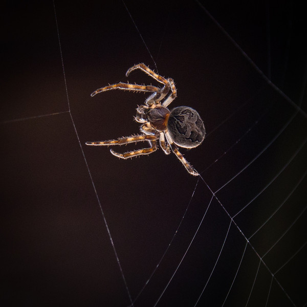 Brown spider spinning its web.