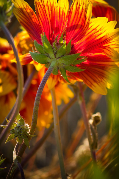 Indian Blanket blooms all through Garry Point Park.