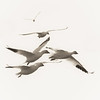 Snow geese at Garry Point Park.