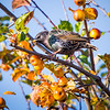 Starling feeding on crabapples at Garry Point Park.