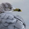 A one legged Ring-billed gull at Garry Point Park.