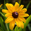 Brown-eyed Susan.