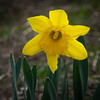 Early spring brings a lone tulip to Garry Point Park.