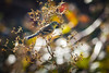 An American Gold Finch at Garry Point Park.