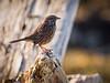 Sparrow at Garry Point Park.