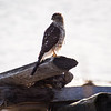 A juvenile Sharp-Shinned Hawk or a Cooper's Hawk