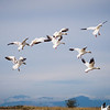 Snow geese coming in for a landing at Garry Point Park.