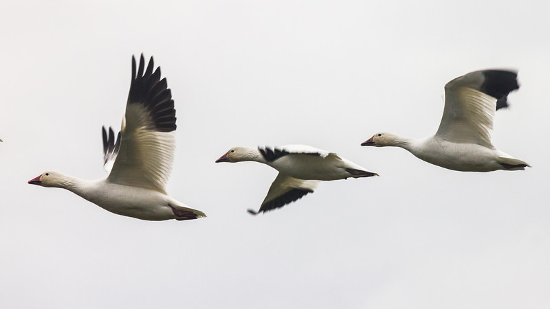 Snow geese flying over Garry Point Park.