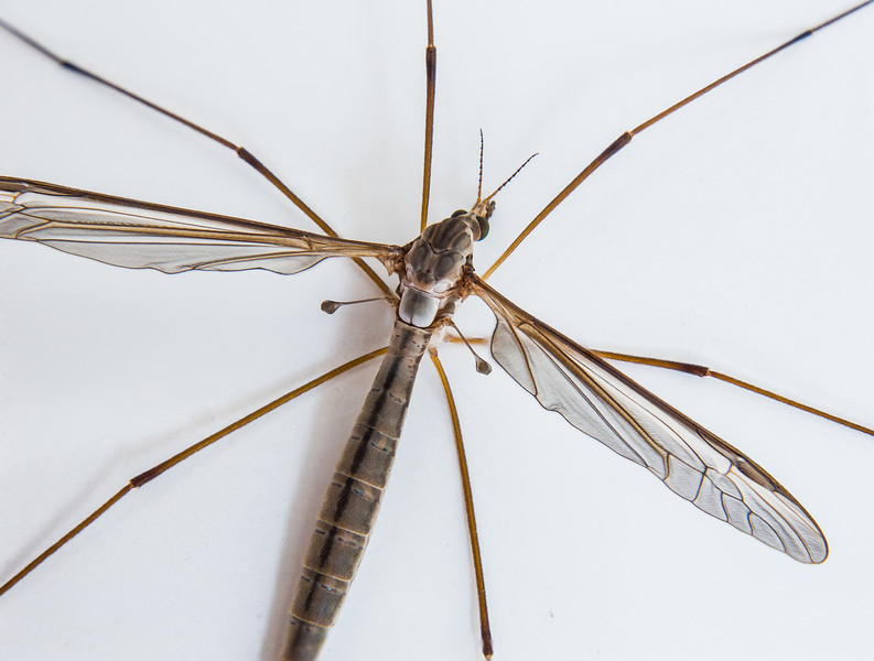 Crane Fly in my bathtub. My first attempt at focus stacking a live insect.
