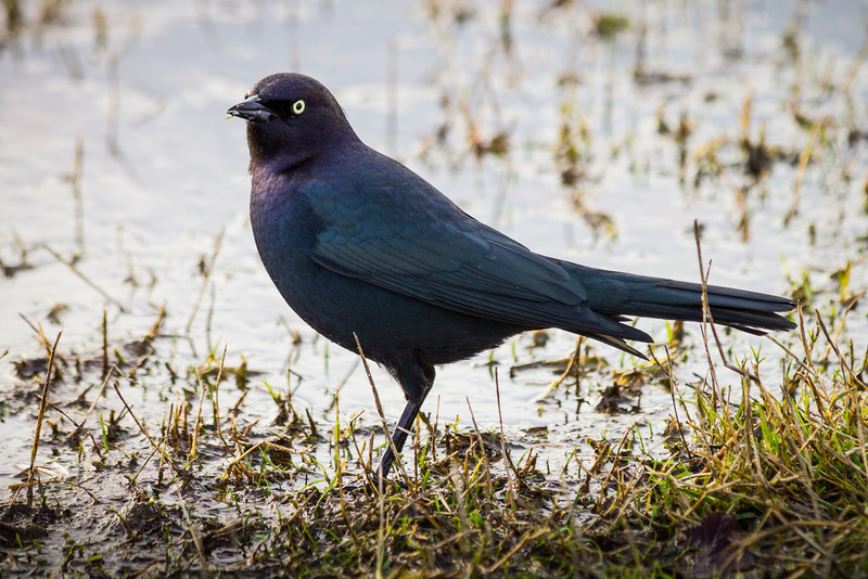 Brewer's Blackbird at Garry Point Park.