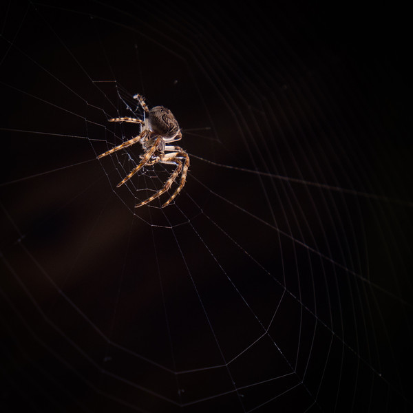 Brown spider on its web waiting for a meal.