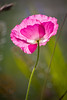 Pink Poppy at Garry Point Park.