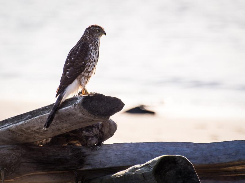 A juvenile Sharp-Shinned Hawk or a Cooper's Hawk