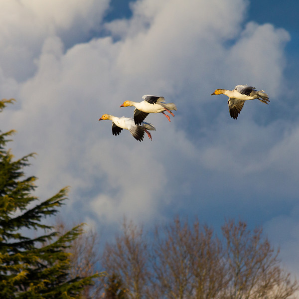 Snow Geese coming in for a landing Garry Point Park.