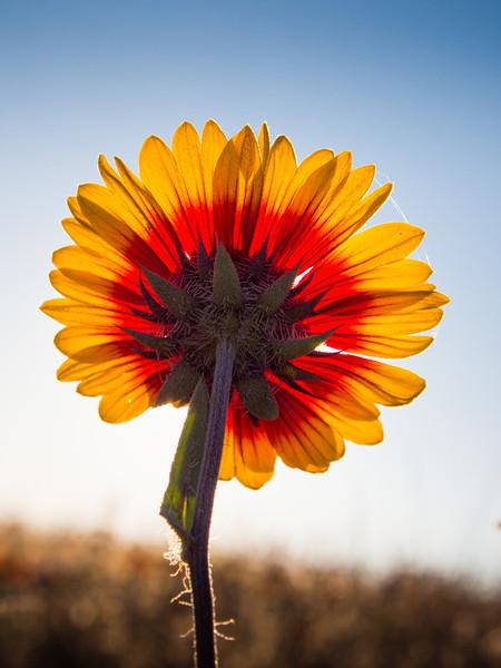 Indian Blanket flower (Gaillardia Pulchella) at Garry Point Park.