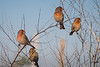 House Finches at Garry Point Park.