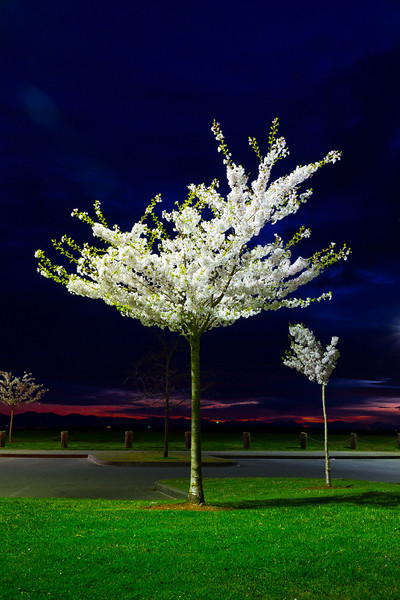 Cherry trees lit by parking lot lights in Garry Point Park.