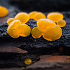 Orange coloured jelly fungi (Dacrymyces palmatus).