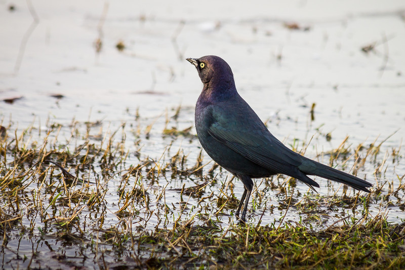 Brewer's Blackbird at Garry Point Park.