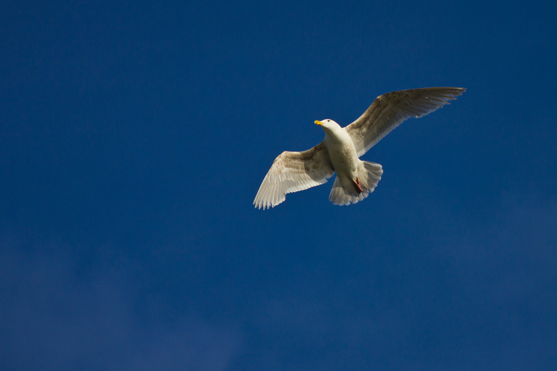 Herring gull flies over the Britannia Heritage Shipyard  at Steveston.