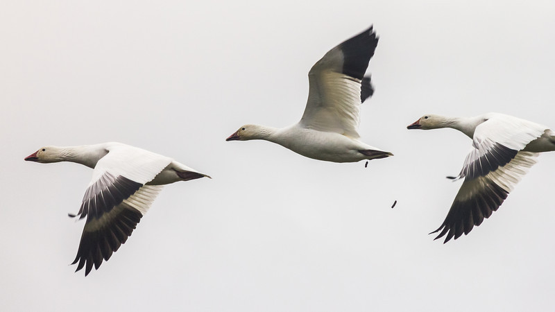 Snow geese on a bombing run over Garry Point Park.