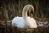 Nesting Swan at Britannia Heritage Shipyard.