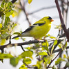 American Goldfinch at Garry Point Park.