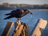 Crow catches a mole for dinner at Garry Point Park.