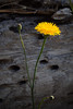 A Dandelion stands out against a dark piece of driftwood in Garry Point Park.