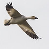 Snow goose flying over Garry Point Park.