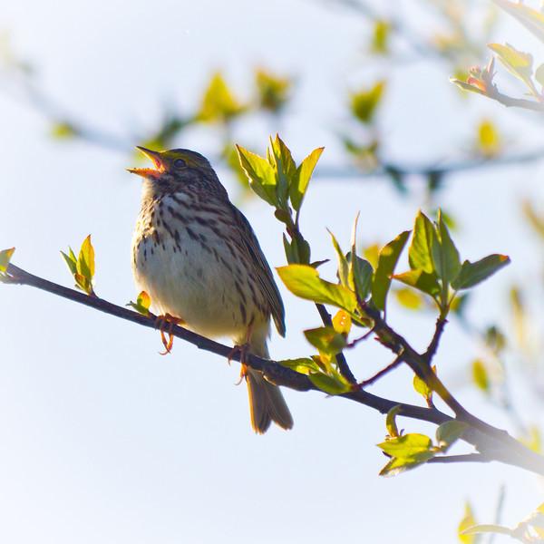 Savannah Sparrow at Garry Point Park.