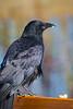 A crow and its peanut.